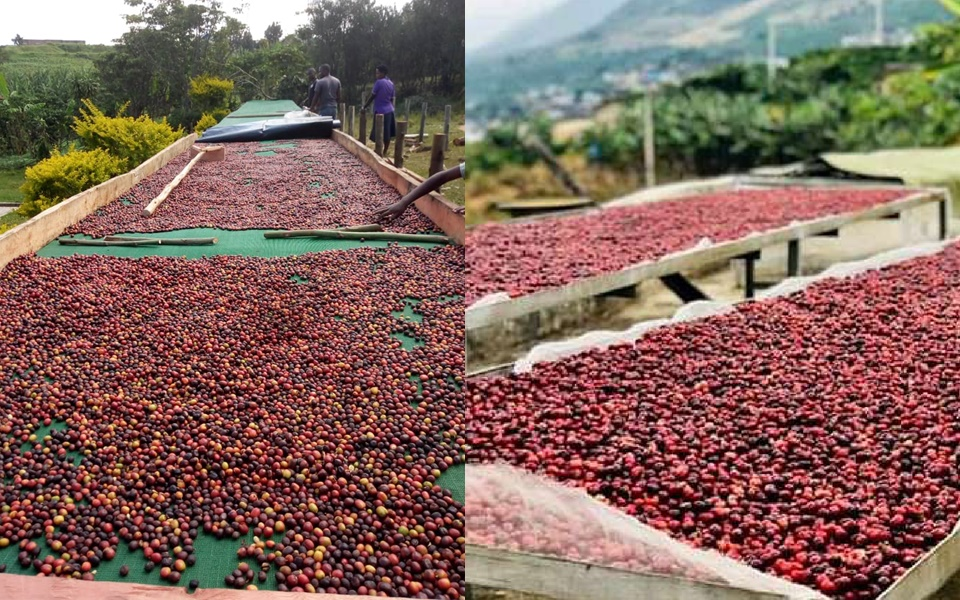 Drink Uganda Coffee Authority, Producers of Arabica and Robusta Coffee