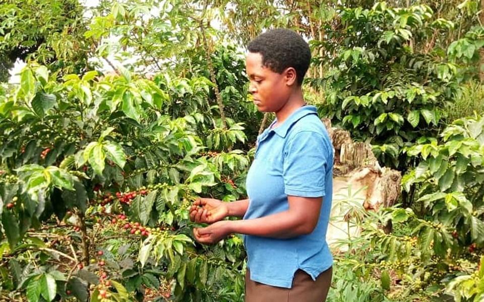Producers of Arabica and Robusta Coffee, Drink Uganda Coffee